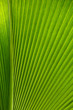 Palmenblatt Struktur