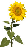 refined sunflower isolated poster