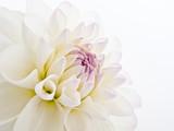 Delicate White Dahlia