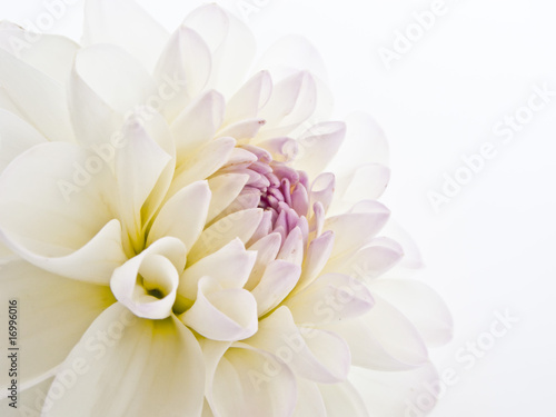 Fotobehang Dahlia Delicate White Dahlia