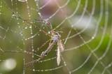 mosquito in cobweb poster