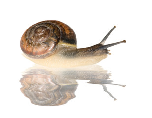 brown snail with reflection