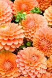 Fototapeta Dahlien, Schnittblumen, Herbstfarben