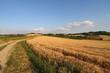 Campo di grano nel Monferrato