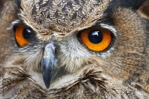 Fotobehang Uil The Orange Eyes of an European Eagle Owl