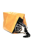 animals, cat going into paper bag