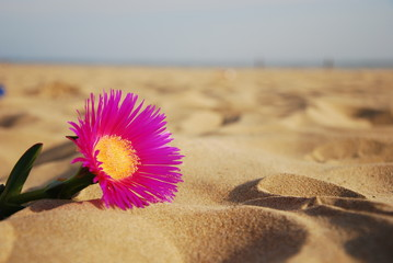 Flower of beach, Andalusia. (Carpobrotus edulis)