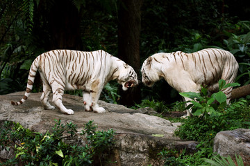 White Tigers in a Challenge