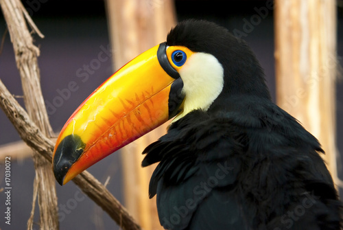 Poster Toekan toucan toco