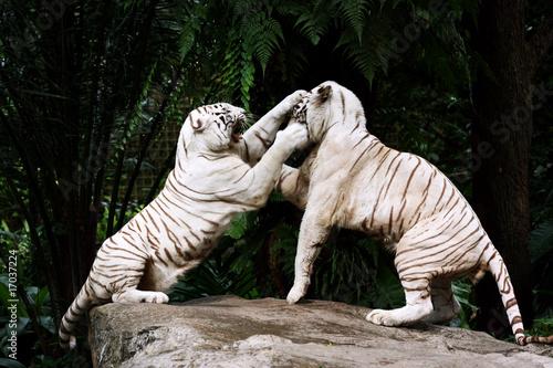 Dwa Białe Tygrysy w walce