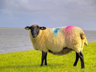 sheep on dike