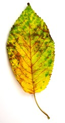colorful autumn leaf on white