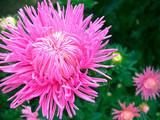 Fototapeta Dahlia-cactus