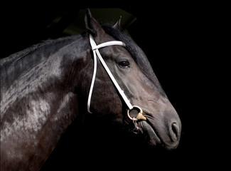Shire stallion isolated on the black background