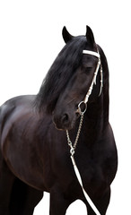 Friesian horse on the white background