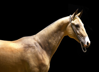 Akhal-teke horse iisolated on the black background