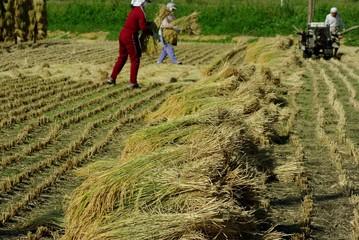 秋の稲刈り