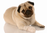 veterinary care - pug with bandaid on paw poster