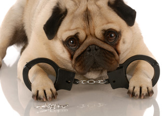 dog breaking the law - pug with handcuffs and keys