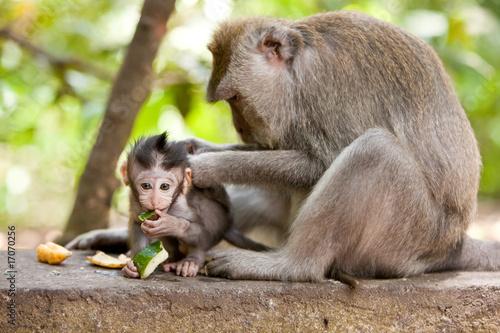Poster Monkey family