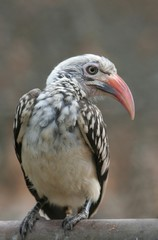 Hornbill Yellow Billed Young