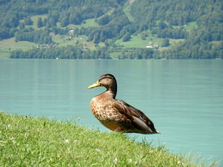 Duck in Iseltwald, Switzerland