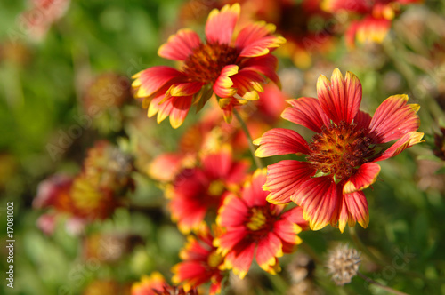 canvas print picture Gaillardia