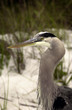 Great Blue Heron close up