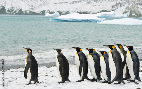 Poster Pinguin King Penguins in an Icy Bay