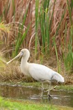 Yellow-billed Spoonbill - Native Australian Bird