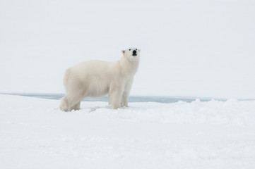 Polar bear north of Spitsbergen Svalbard close to the North Pole, Norway