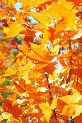 Bright autumn foliage close up