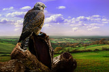 Young falcon looks over  autumn landscape.