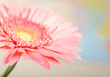 Closeup photo of pink daisy-gerbera.