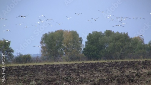 Disturbed gulls flying over ploughed field