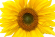 Beautiful yellow Sunflower