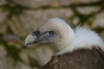 Gyps fulvus - Griffon Vulture