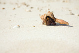 Hermit Crab Crawling On Beach poster