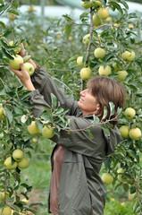 les pommes 7