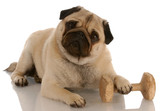 obedience dog - pug laying down beside dumbell poster