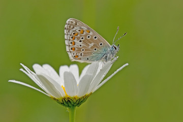 Bläuling - common blue