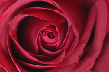 Center of red rose