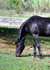 Cavallo - Stallone