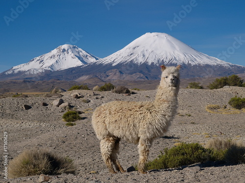 Leinwandbild Motiv Alpaka vor Vulkan Parinacota