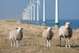 Windmills and sheep