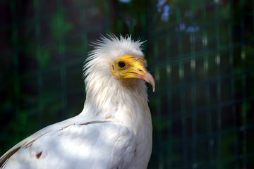 Neophron percnopterus - Egyptian Vulture (9)
