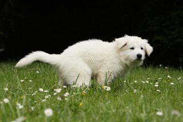 petit berger blanc suisse qui fait ses besoins -pipi caca