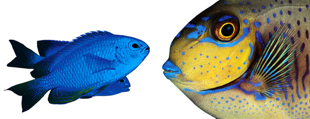 Two colorful tropical fishes isolated on white background