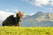 Kuh auf der Alpe