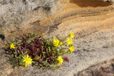 Flowering plant clinging to sandstone